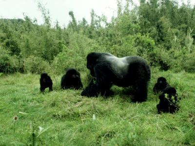 Mountain Gorilla, Berengei, Rwanda