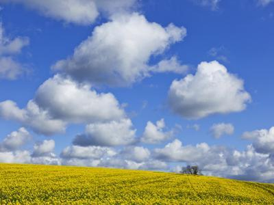England, Hampshire, Rape Fields and Clouds by Steve Vidler