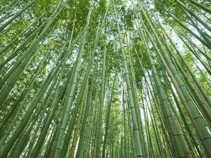 Japan, Kyoto, Arashiyama, the Bamboo Forest by Steve Vidler