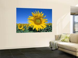 Sunflower Fields, Provence, France by Steve Vidler