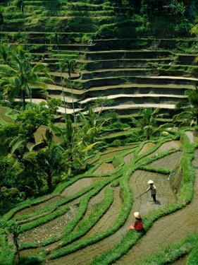 Ubud, Rice Terraces, Bali, Indonesia by Steve Vidler