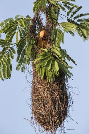A bird in a nest. by Steve Winter