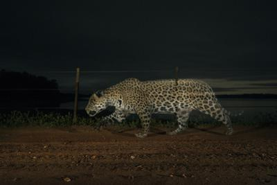 A camera trap captures a jaguar in the Pantanal of Mato Grosso Sur in Brazil. by Steve Winter