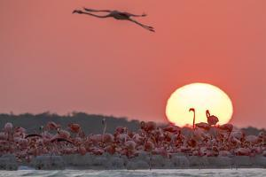 A Caribbean Flamingo, Phoenicopterus Ruber, in Flight at Sunset by Steve Winter