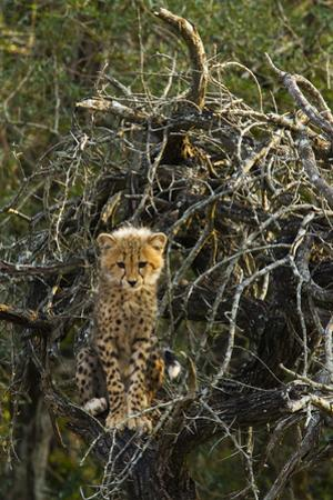 A Cheetah Cub Perches in a Tree Amid Thorny Branches by Steve Winter