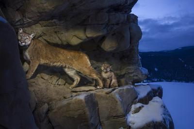 A Female Cougar and Her Kitten Use Rock Outcrops to Provide Shelter and Cover for Hunting by Steve Winter