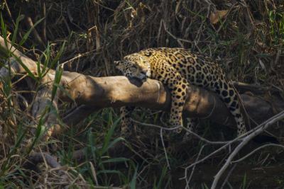 A jaguar along a riverbank in the Pantanal of Mato Grosso Sur in Brazil. by Steve Winter