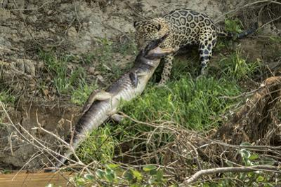A Jaguar Carries a Caiman He Killed on the Cuiaba River into the Forest by Steve Winter
