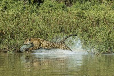 A Jaguar Chases a Caiman in the Pantanal by Steve Winter