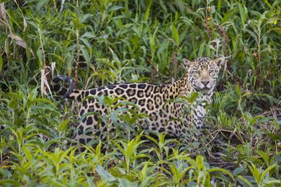 A jaguar in the Pantanal of Mato Grosso Sur in Brazil. by Steve Winter