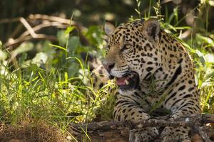 A jaguar in the Pantanal of Mato Grosso Sur in Brazil. by Steve Winter