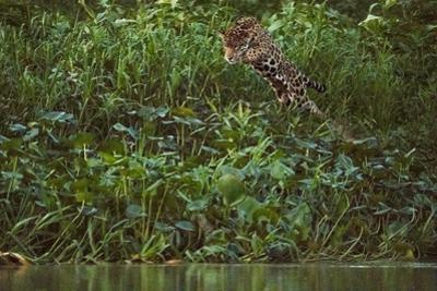 A Jaguar Leaps into a River in Pursuit of a Caiman in Brazil'S Pantanal by Steve Winter