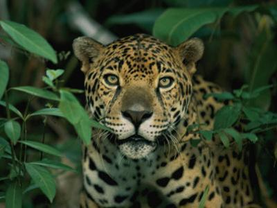 A Jaguar Looks into the Camera by Steve Winter
