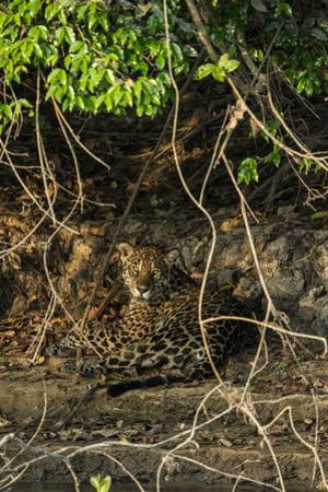 A jaguar on a riverbank in the Pantanal of Mato Grosso Sur in Brazil. by Steve Winter