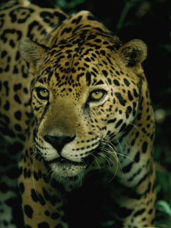 A Jaguar on the Prowl by Steve Winter