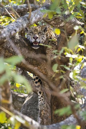 A jaguar resting in a tree in the Pantanal of Mato Grosso Sur in Brazil. by Steve Winter