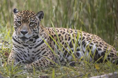 A jaguar rests in the grass. by Steve Winter