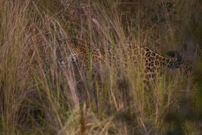 A Jaguar Scans for Prey from the Cover of Tall Grasses in the Pantanal by Steve Winter