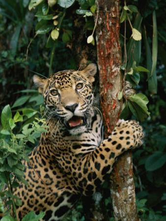 A Jaguar Sharpens it Claws on a Tree Trunk by Steve Winter
