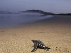 A Leatherback Turtle Heads Out to Sea by Steve Winter