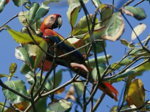 A Macaw Perches in a Tree by Steve Winter
