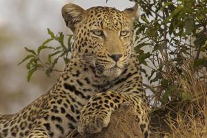 A Male Leopard Sits on Top of a Termite Mound Watching a Group of Vultures by Steve Winter