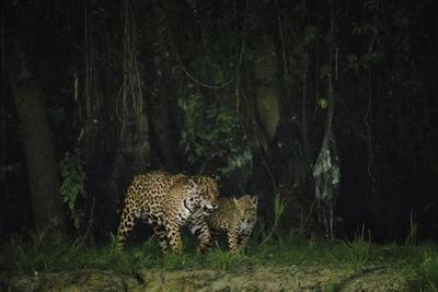 A Mother and Cub Patrol Along the Cuiaba River after Dusk by Steve Winter