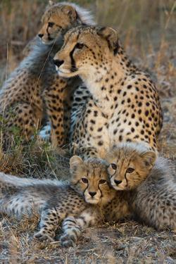 A Mother Cheetah and Her Cubs Rest Together in the Phinda Game Reserve by Steve Winter