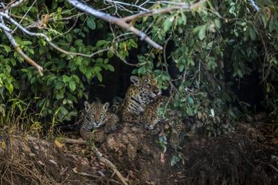 A Mother Grooms Her Cubs on the Banks of the Tres Irmaos River in the Pantanal by Steve Winter