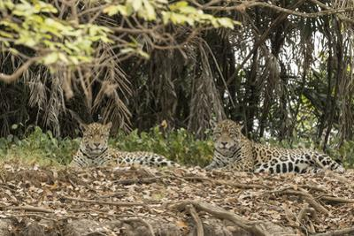 A pair of jaguars in the Pantanal of Mato Grosso Sur in Brazil. by Steve Winter