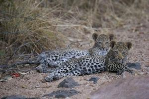 A Pair of Leopard Cubs Rest in South Africa's Timbavati Game Reserve by Steve Winter