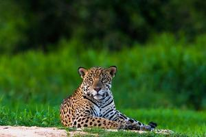 A Portrait of a Wild Jaguar Resting on the Banks of the Cuiaba River, in the Pantanal by Steve Winter