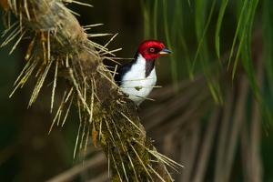 A Red Capped Cardinal in Yasuni National Park by Steve Winter