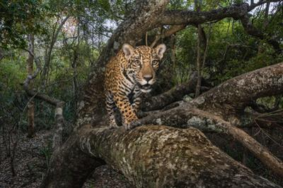 A remote camera captures a 10-month-old jaguar cub in Brazil's Pantanal region. by Steve Winter