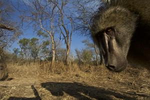 A Remote Camera Captures a Baboon in South Africa's Timbavati Game Reserve by Steve Winter