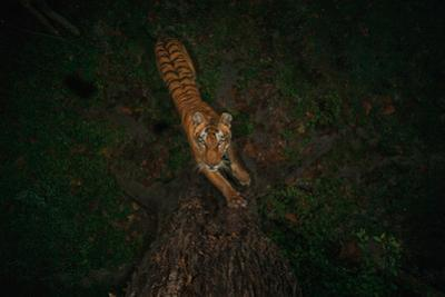 A remote camera captures a tiger scratching the base of a tree to mark territory. by Steve Winter