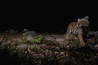 A remote camera captures an Indochinese tiger while hunting. by Steve Winter