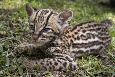 A rescued jaguar cub in Cabildo Verde, a nature reserve in Sabana de Torres, Colombia. by Steve Winter