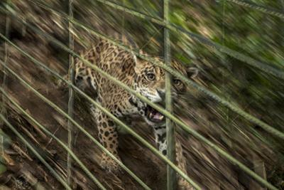 A Rescued Young Jaguar Lives in a Nature Reserve in Sabana De Torres, Colombia by Steve Winter