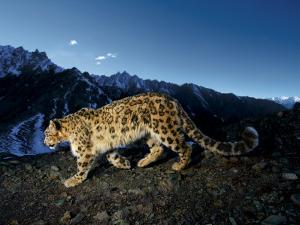 A snow leopard traverses a rocky slope by Steve Winter