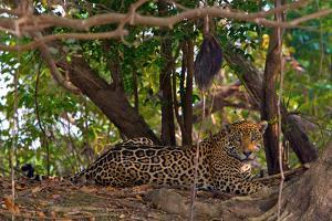 A Wild Jaguar Rests Along the Banks of the Cuiaba River by Steve Winter