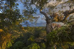 Bromeliads, Ferns, and Orchids Cover a Kapok Tree by Steve Winter