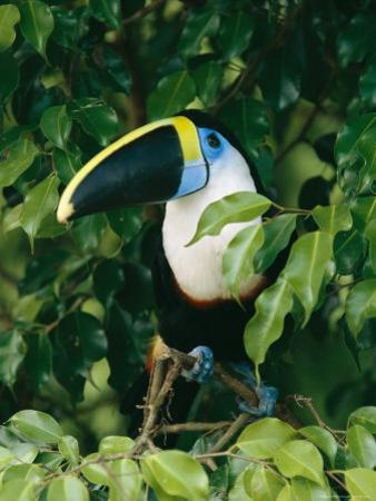 Colorful Cuviers Toucan Sitting in a Fig Tree by Steve Winter