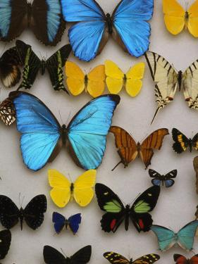 Display of Butterfly Samples at the National Biodiversity Institute by Steve Winter