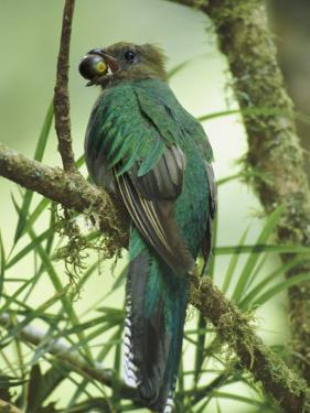 Female Resplendent Quetzal Bearing Food for its Nestlings in a Hollowed Tree by Steve Winter