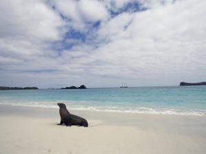 Galapagos Sea Lion on Beach by Steve Winter
