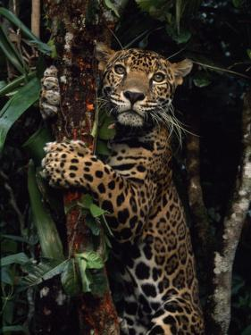 Jaguar Named Boo Climbs a Tree at the Belize Zoo by Steve Winter