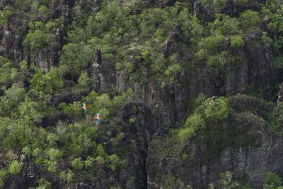 Macaws in flight above Colombia's Chiribiquete National Park. by Steve Winter