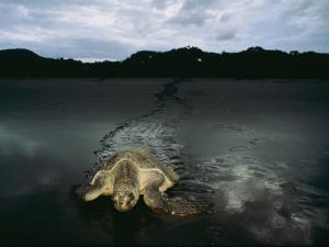 Pacific Ridley Turtle Laying Eggs in a Hole She Dug in the Sand by Steve Winter