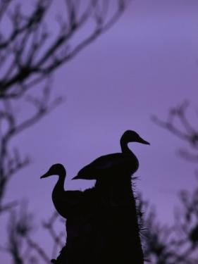Pair of Wild Ducks in Silhouette, Costa Rica by Steve Winter